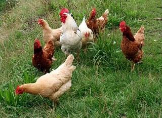 Rancho aldhor: Huevos de gallina feliz